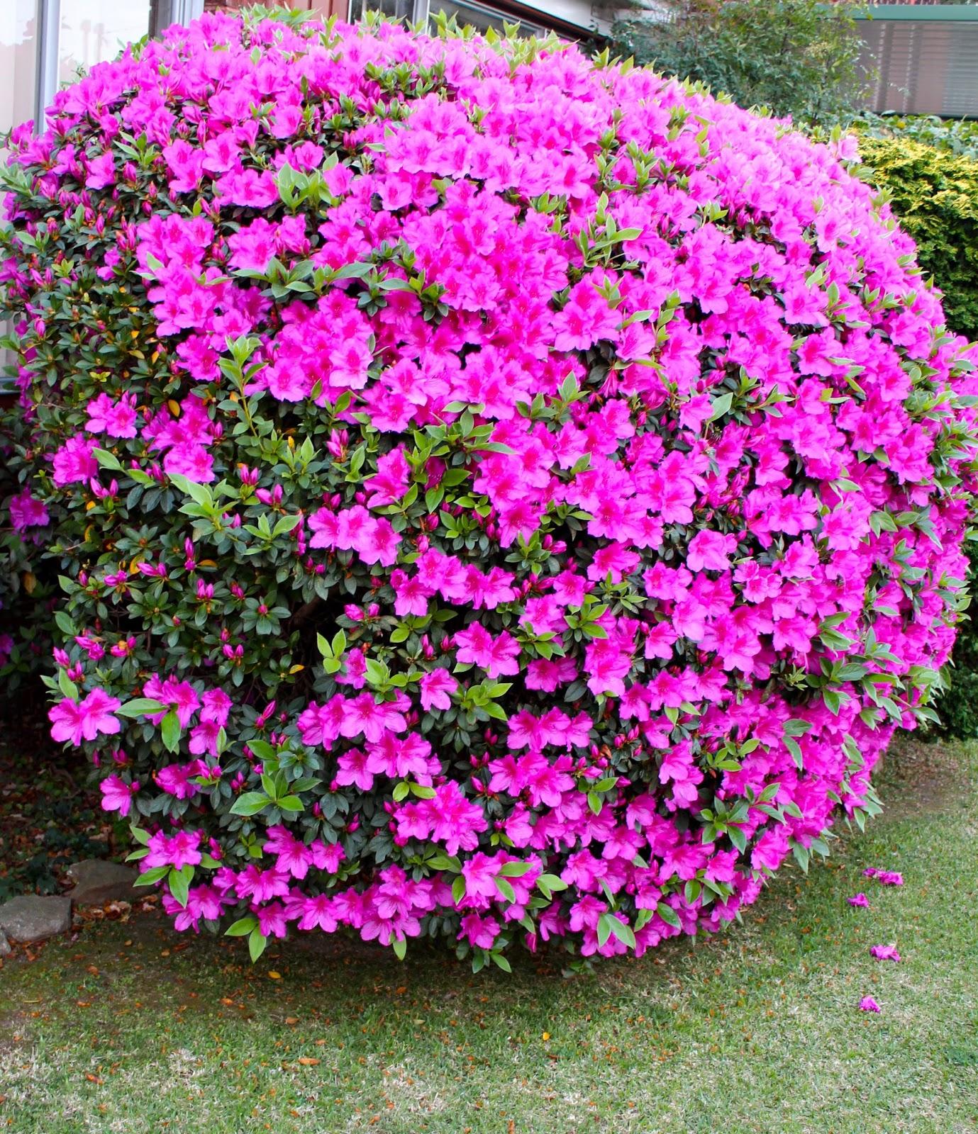 Florez nursery azalea indica 39 magnifica 39 - Azalea cuidados planta ...