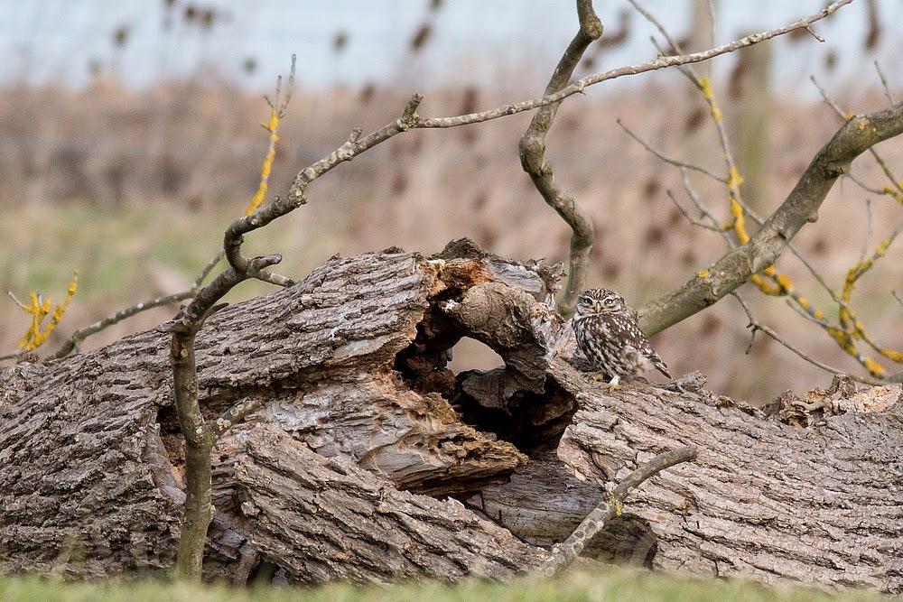 Little Owl sat on dead tree trunk - Manor Farm, Milton Keynes