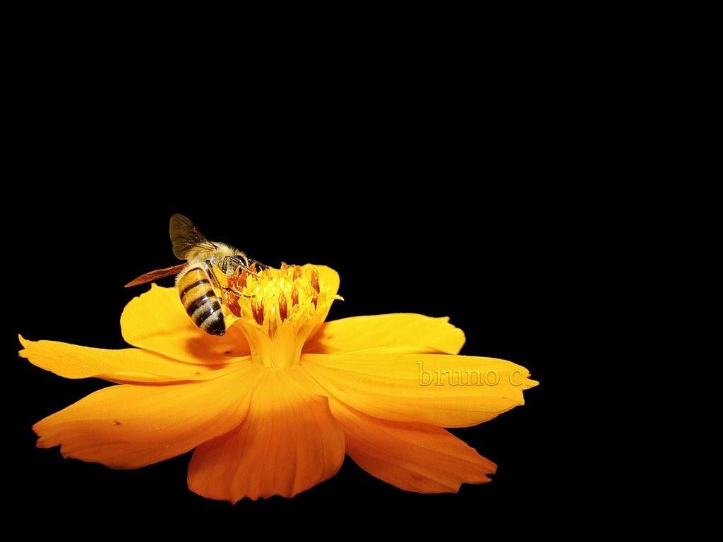 نحلة بخلفية سوداء