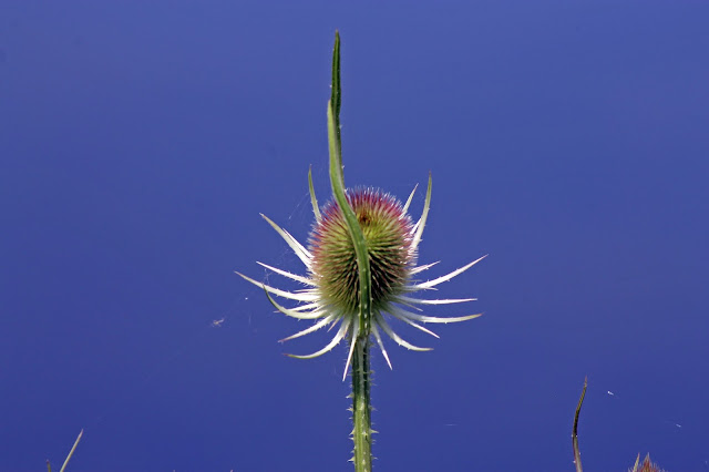 Stretched canvas print - Single Teasel
