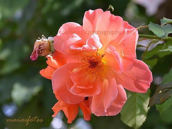 Orange-pink rose head