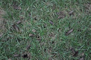 Cores in Fescue Lawn