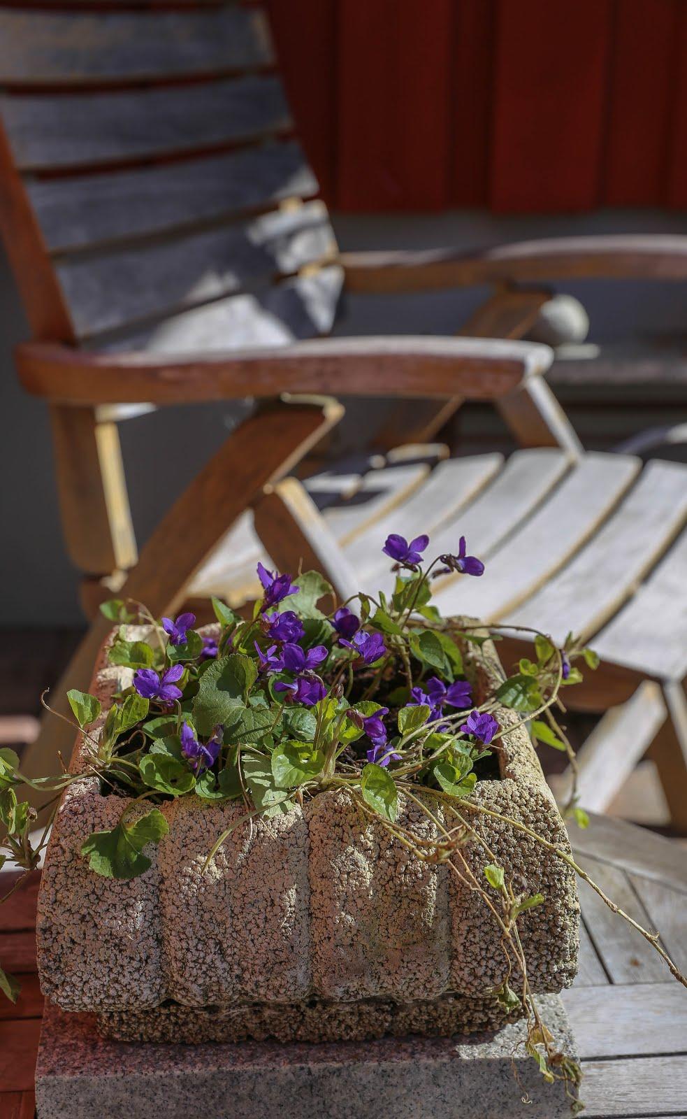 Vårens violer.