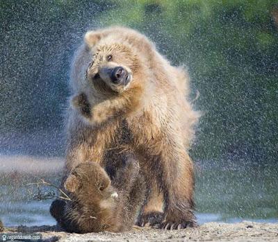 Photos poilantes et extraordinaires Animal – Ours v82