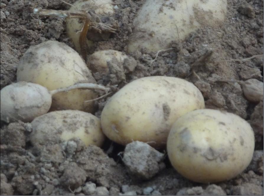 patates sivilcelere iyi gelir mi