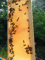 Bees on a frame of comb in the sunshine