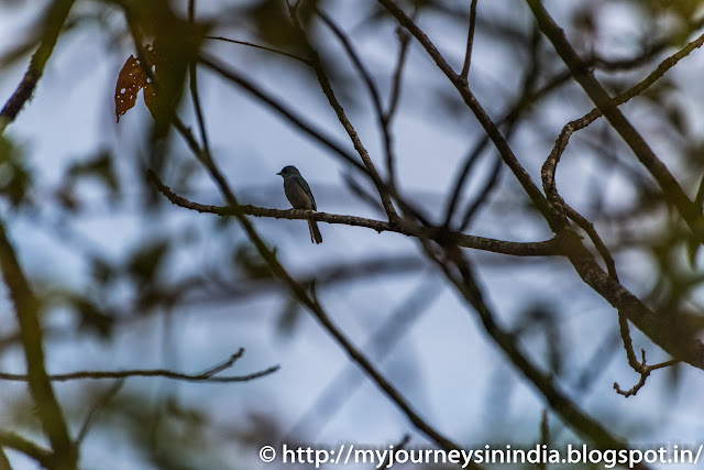 Thattekad Rusty Tailed Flycatcher