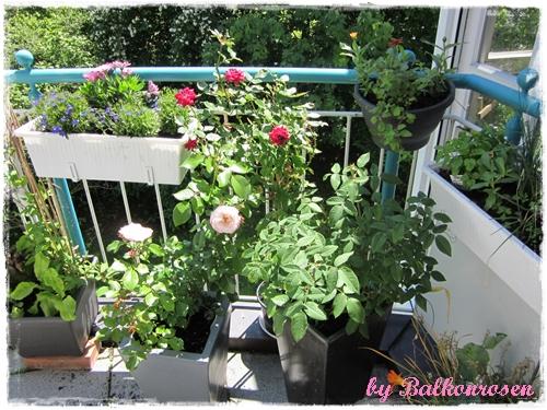 rosenstadt freising die erdbeer sahneschnitte unter den rosen balkonrosen. Black Bedroom Furniture Sets. Home Design Ideas