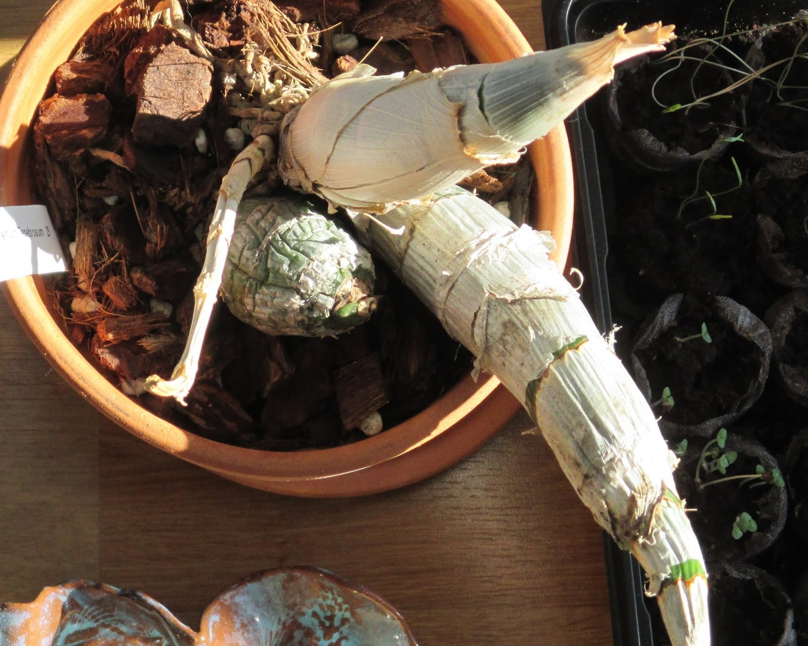 My life among the lithops and other strange plants catasetum thats what makes these few days in early summer so special when cat finally shows her strange black flowers with the golden centers everyone is amazed mightylinksfo