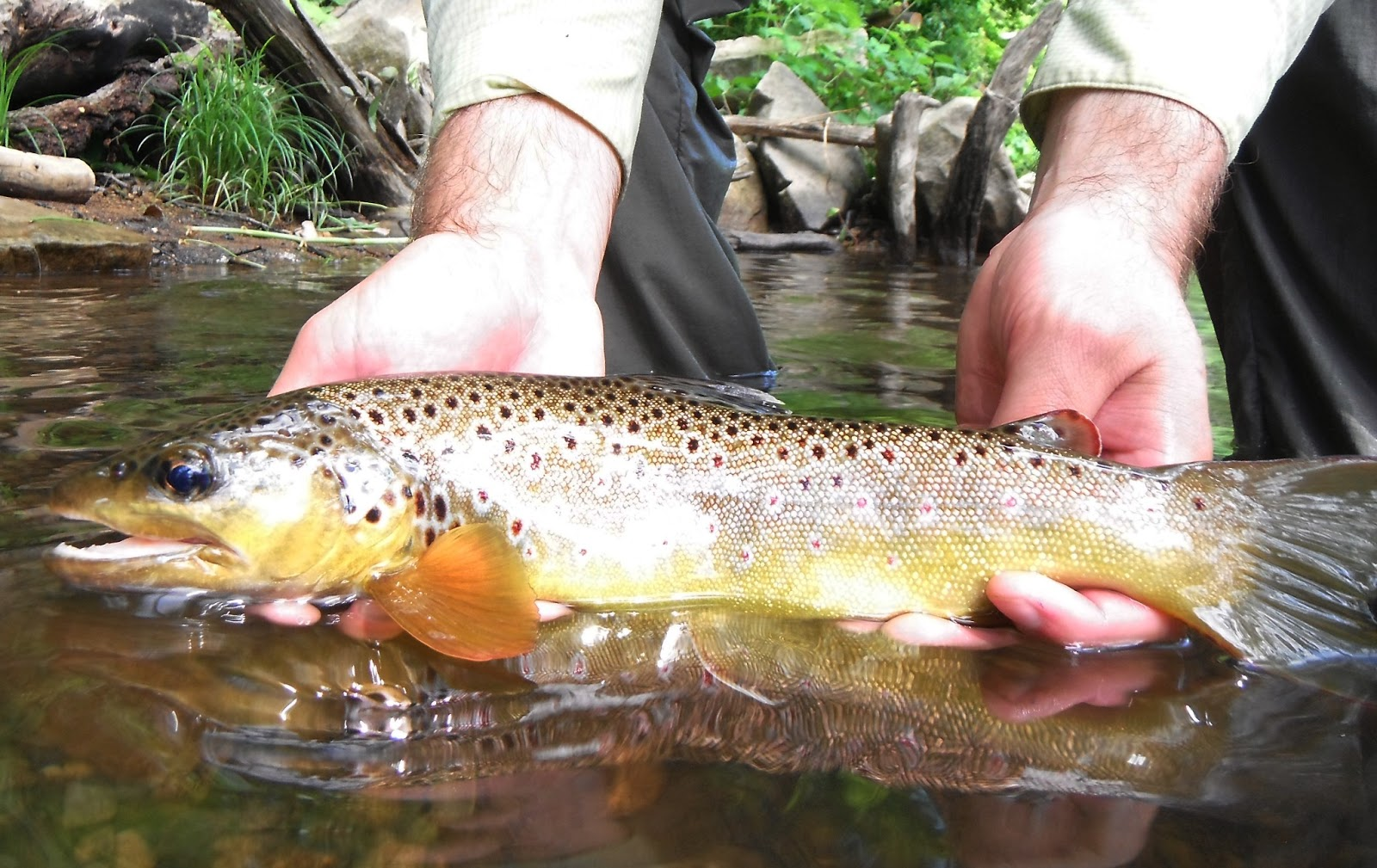 Western maryland fly fishing july 2013 for Md trout fishing