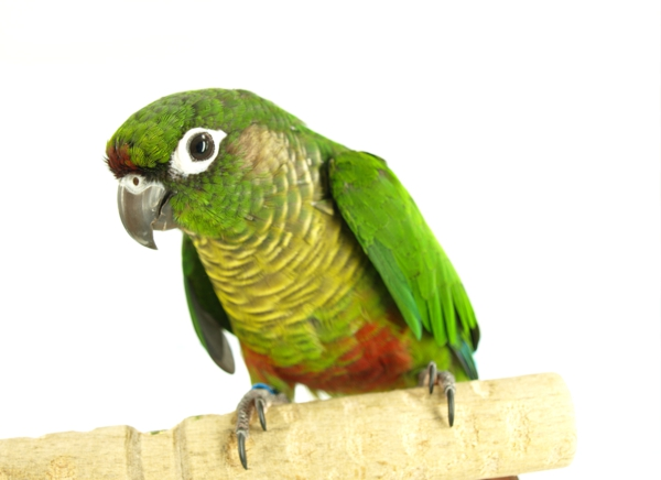 Green-Cheeked Parrot engangered species