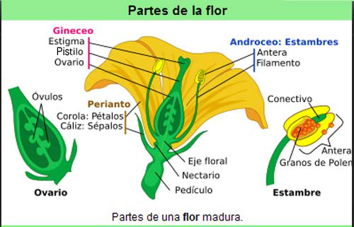 Dibujar una flor con sus partes - Imagui