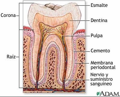 PROTESIS DENTAL : Morfologia dentaria