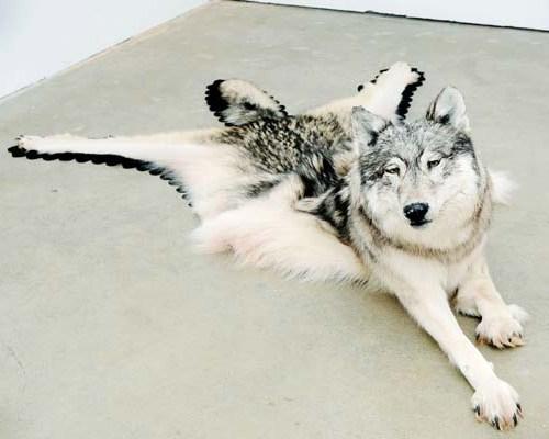 Nicholas Galanin: Inert Wolf