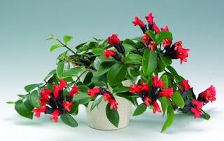 Jardineria, Catalogo de Plantas: Aeschynanthus lobbianus