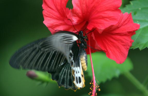 Gambar Bunga Kembang Sepatu dan kupu-kupu