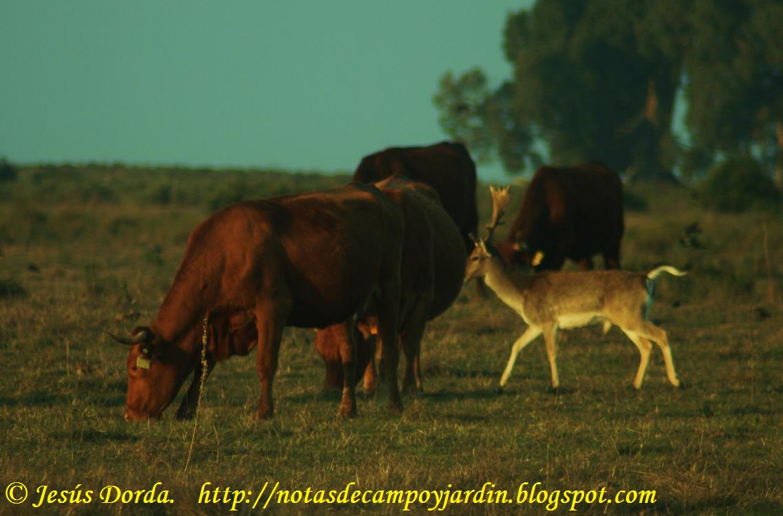 Notas de campo y jard n bosque que no has de proteger for Vacas decorativas para jardin
