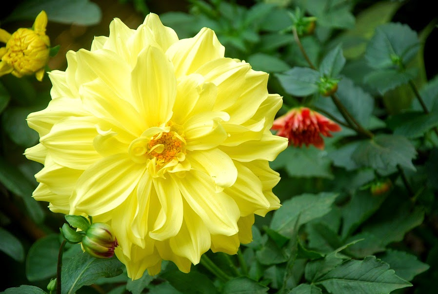 Bulaklak Decor: Yellow Chrysanthemum Yellow Chrysanthemum Flower