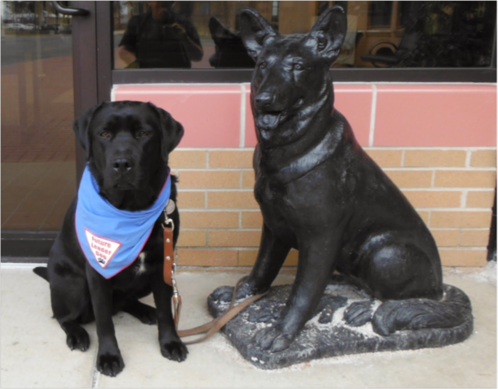 On the left, a black lab, wearing the blue Future Leader Dog bandana sits next to a stature of a german shepherd, facing the camera. The dog statue is all black and the dog is in a sitting position. The lab's leash is looped around the statue's front leg. There is a brick wall below a window behind them.