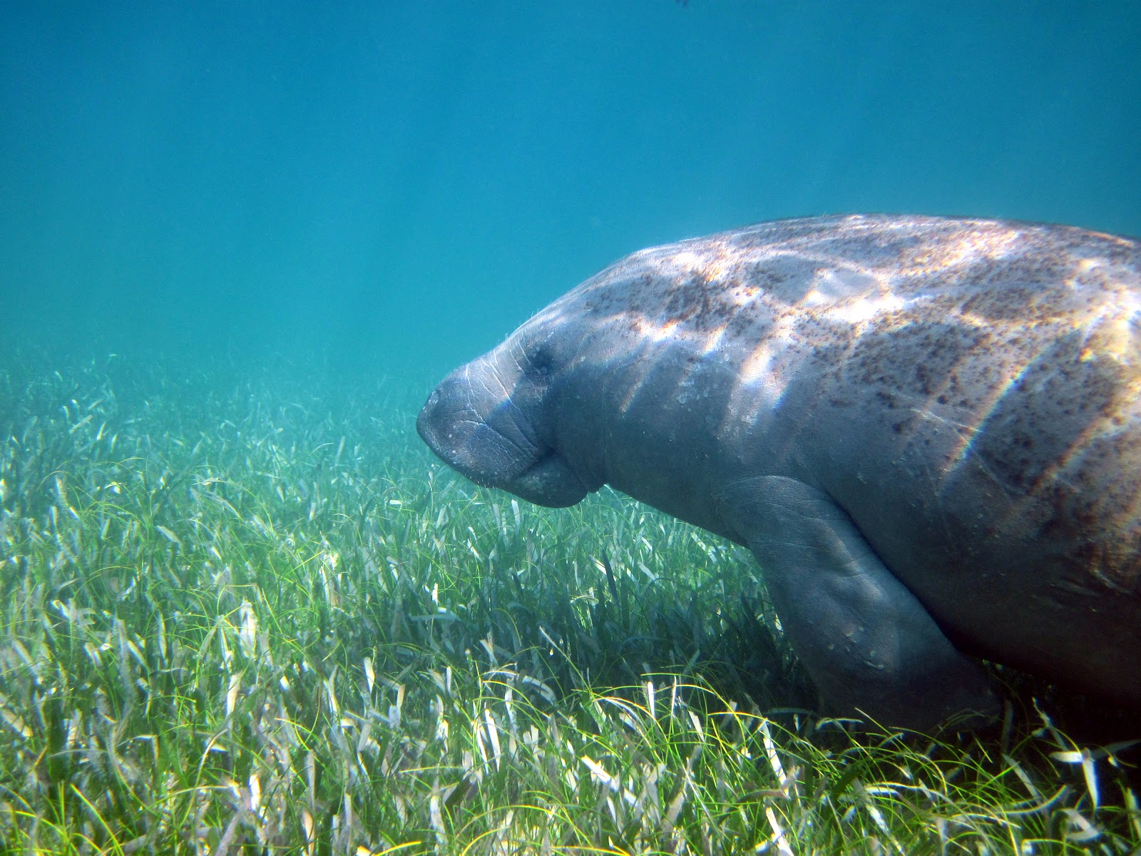 Seagrass beds ecosystem - Manatee Swimming Over Seagrasses Off Key Biscayne Fl Image Credit