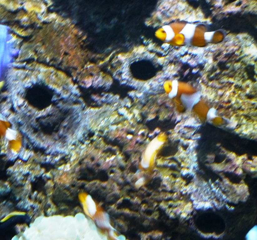 Travels of a danventurer as a young man aquaria klcc for What do clown fish eat