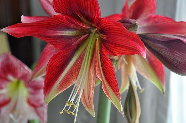 Hippeastrum Ruby Star
