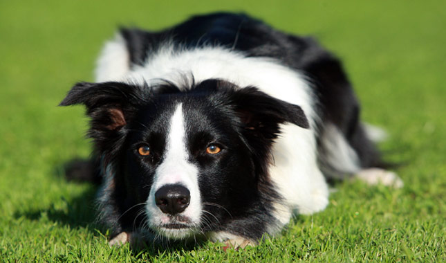 Cute Dogs Cute Border collie dogs