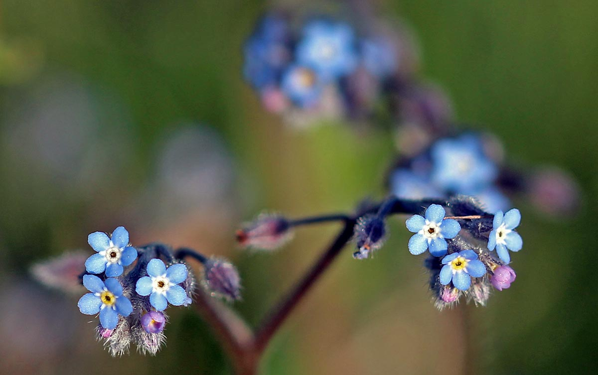 Wcs Tiny Blue Flowers A Pic A Day In May 18