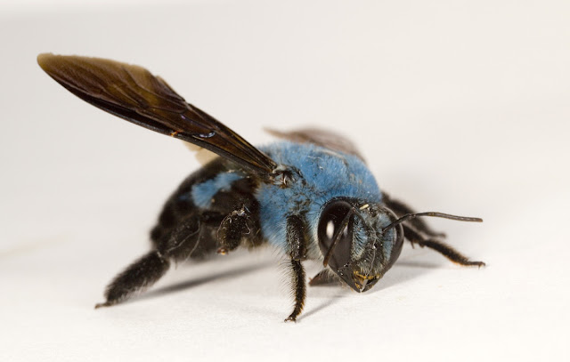 The Blue Carpenter Bee (Xylocopa caerulea)