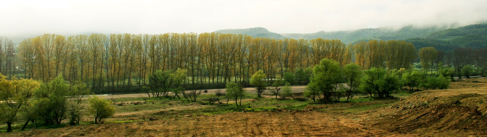 Long stand of poplar trees along the river bank