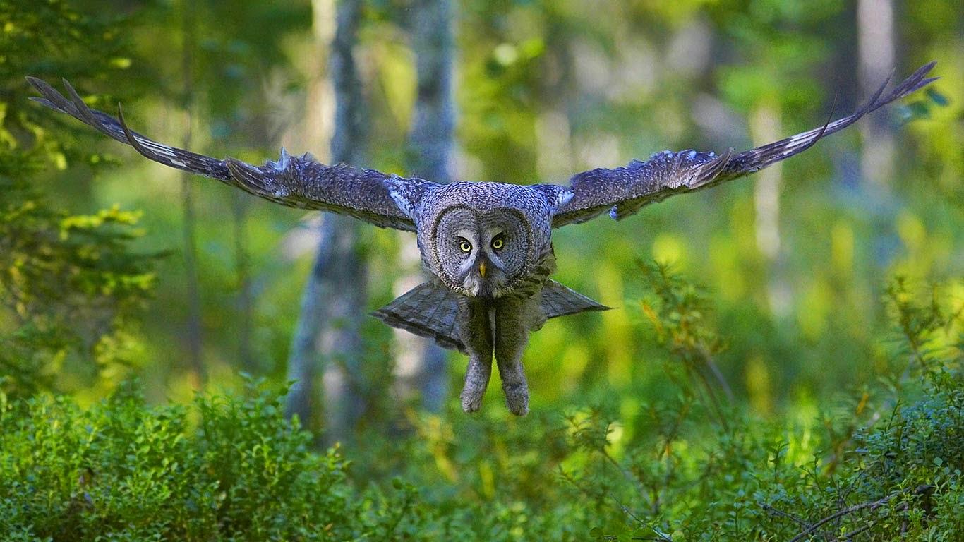 Great gray owl (© J. Peltomaeki/age fotostock) 99