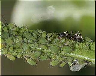 Mi huerto en casa preparados organicos para combatir plagas - Plaga de hormigas en mi casa ...