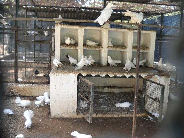 white pigeon ahmedabad park