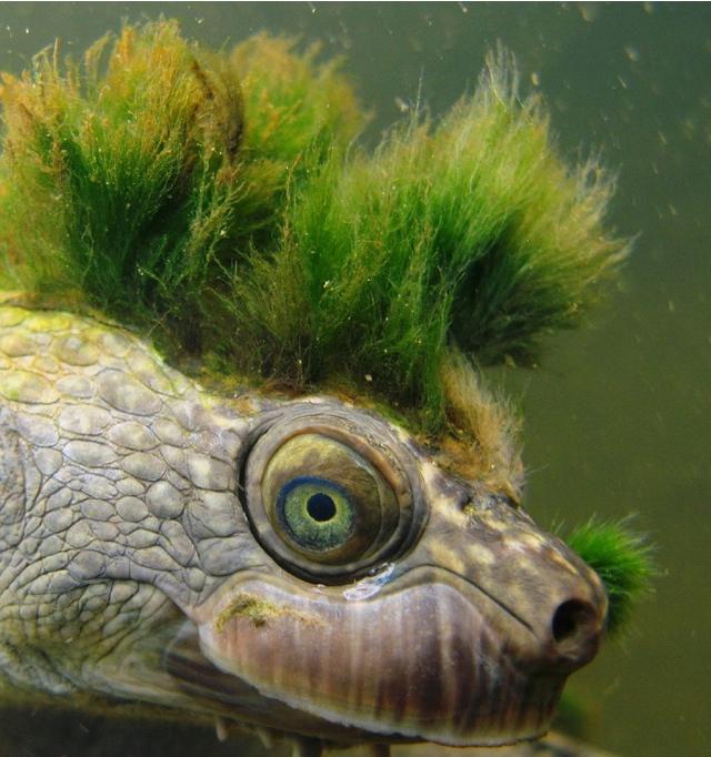 Mary river turtle algae - photo#4