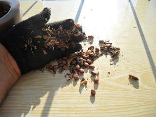 Очисткой клещевины занимаюсь в перчатках