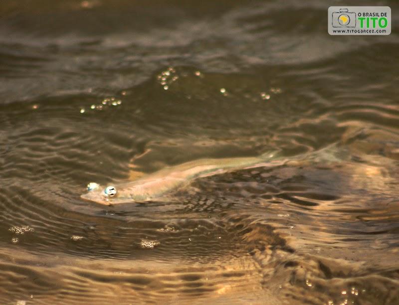 Peixe Tralhoto, que nada na superfície da água, na Ilha de Maiandeua (Algodoal), no Pará