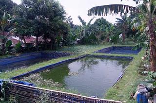 Persiapan kolam tanah untuk budidaya ikan