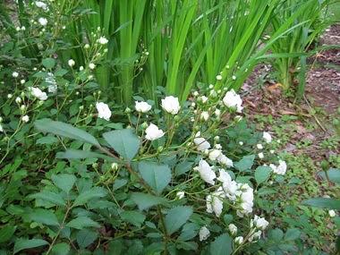 Rose Fertilizers image