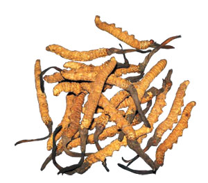 Due to the distinctive essence of cordyceps sinensis that makes the body more efficient.