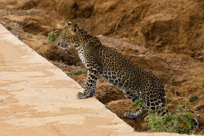 A photograph of a Leopard Cub taken in Yala, Sri Lanka