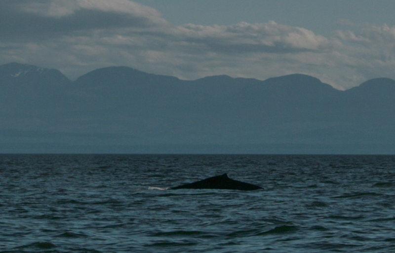 humpback whale off powell river july 14 2013 ray hogan