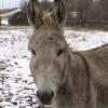 La mule de Saint Nicolas