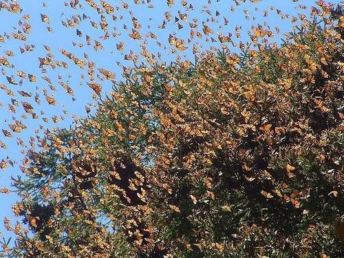 Mariposa Monarca, santuarios mariposa monarca Mexico, imagenes de santuarios de mariposas