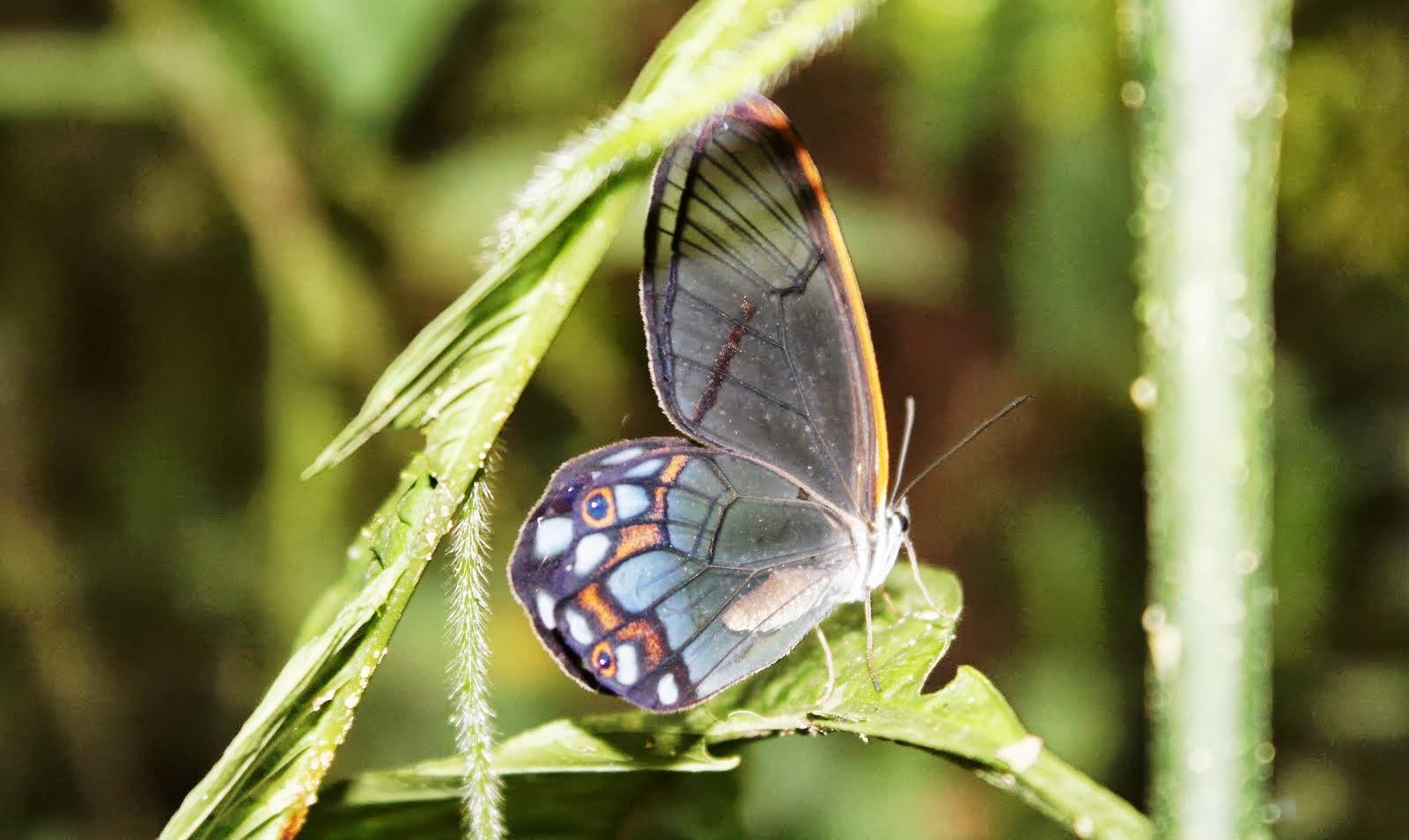 Mariposa Cristal