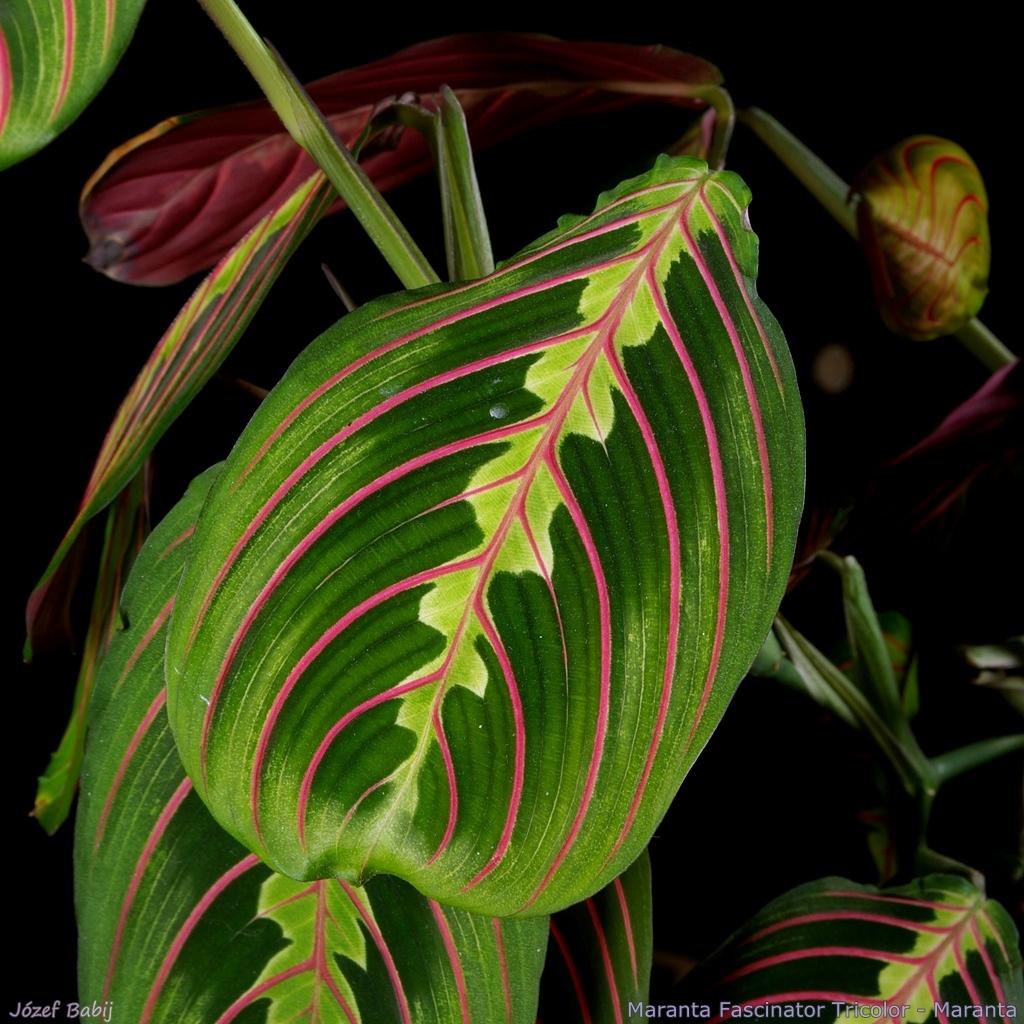 http://plantsgallery.blogspot.com/2015/02/maranta-fascinator-tricolor-maranta.html