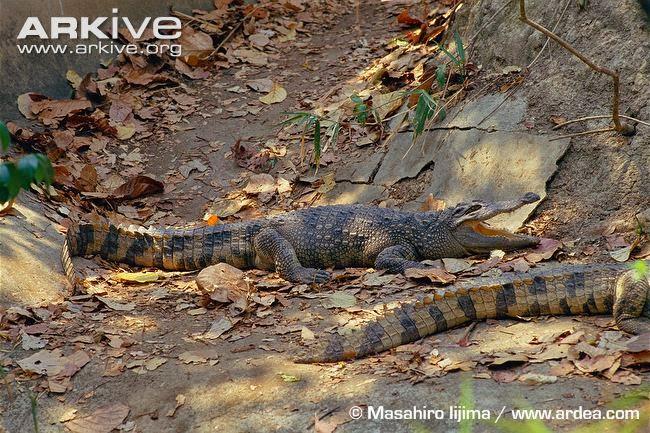 Siamese Crocodile