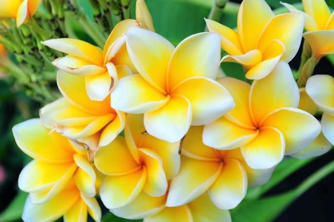 bunga kamboja bunga kamboja bunga kamboja