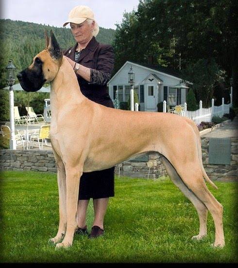 I A Great Dane Great Dane: กัน�...