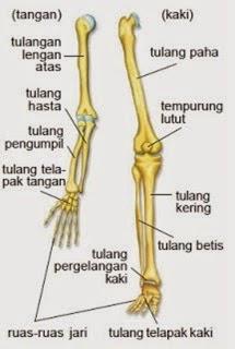 Tulang gerak atas dan gerak bawah