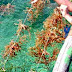 manfaat Rumput Laut, Makanan Kaya Serat Pencegah Diabetes